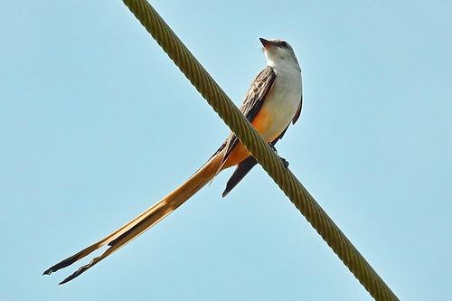 FL: Scissor-tailed Flycatcher in Color