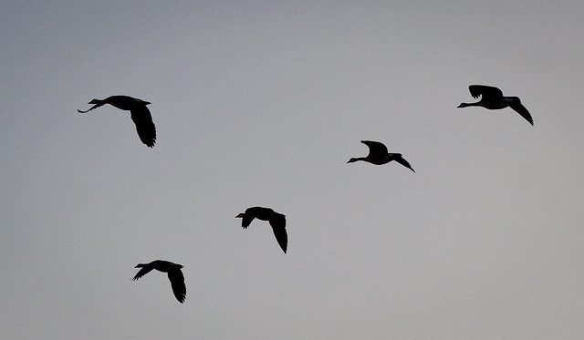 Geese Silhouetted