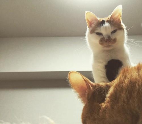 チャンスだにゃ😼😼😼 #cat #cats #catsofinstagram #catstagram #instacat #instagramcats #neko #nekostagram #猫 #ねこ #ネコ# #ネコ部 #猫部 #ぬこ #にゃんこ #ふわもこ部