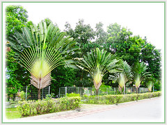 Ravenala madagascariensis (Traveller's Palm, Traveller's Tree) in a single row by the roadside, Dec 28 2013