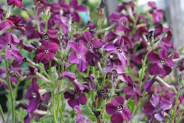 Nicotiana purple