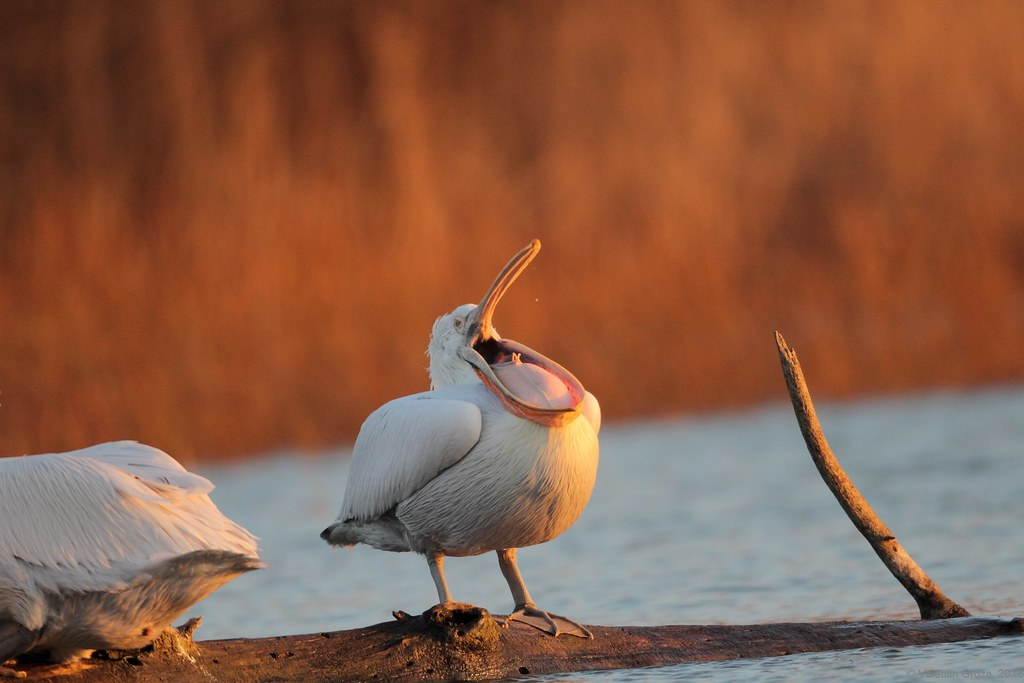 05_pelican curatand pliscul 02