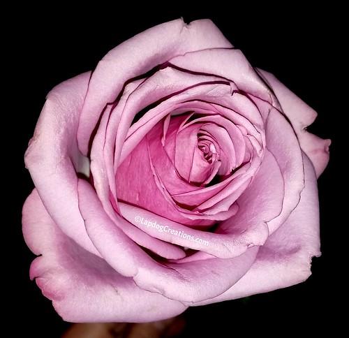 rose #memorialservice #LapdogCreations ©LapdogCreations