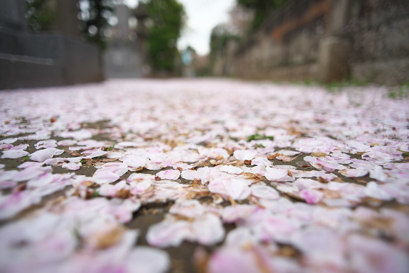 東京路地裏散歩 谷中の桜 2016年4月9日