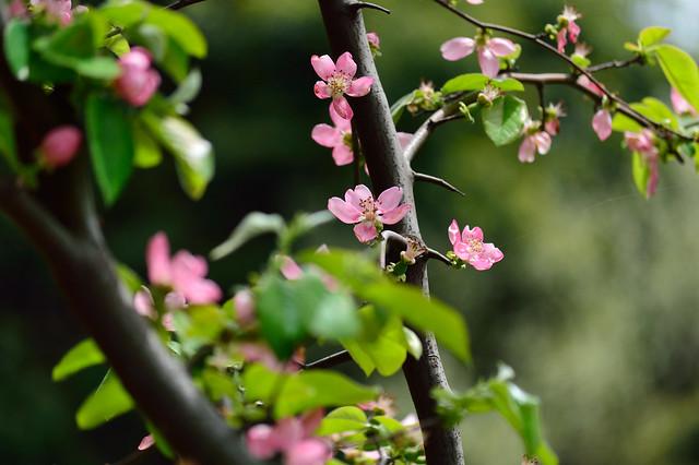 カリン Chinese quince