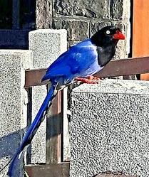 陽明山冷水坑藍鵲 (2)