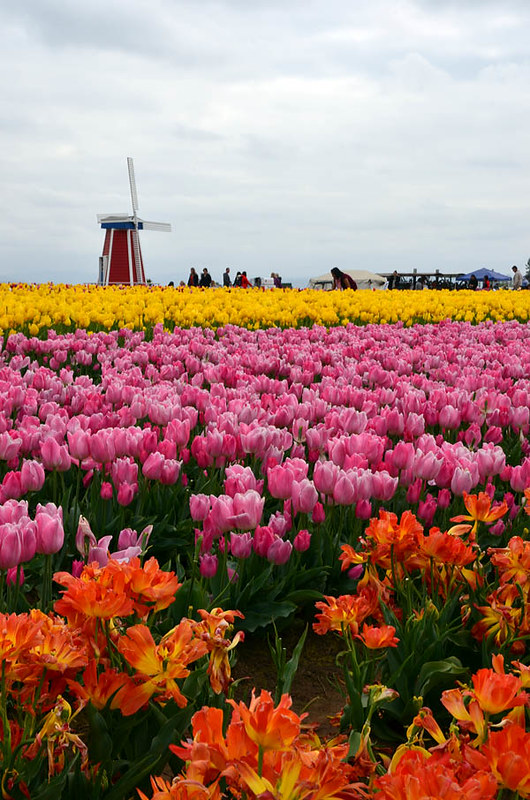 wooden-shoe-tulip-festival-8