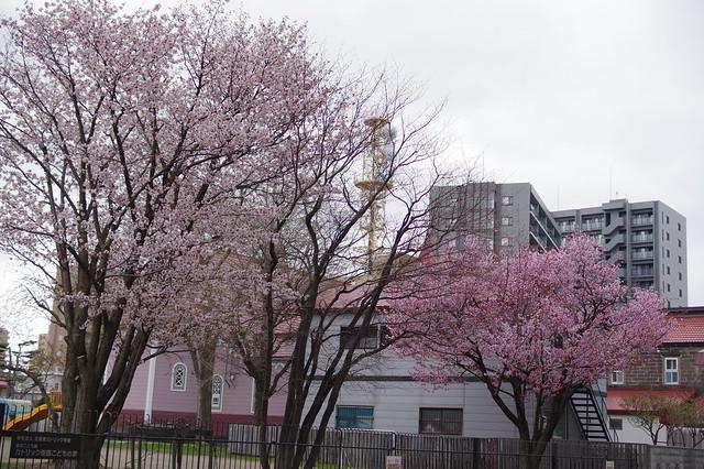 東北地区桜1