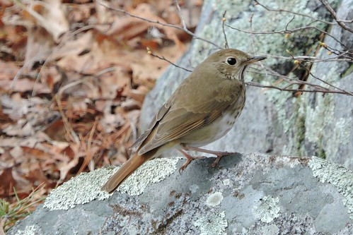 Hermit Thrush #84 Lifer #154