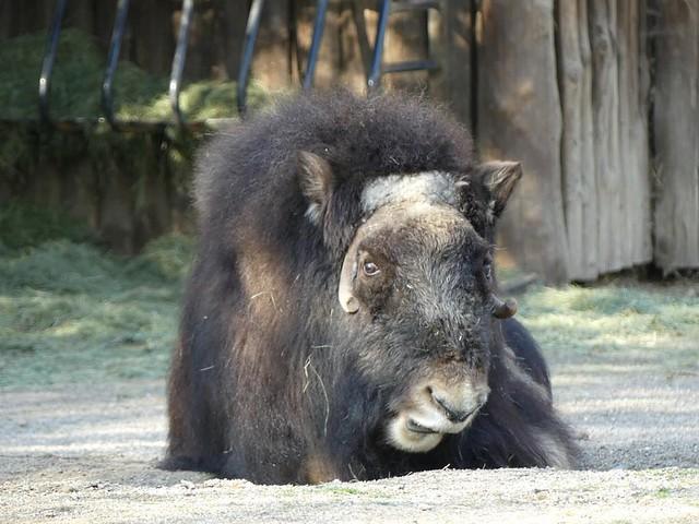 Moschusochse Zoo Krefeld