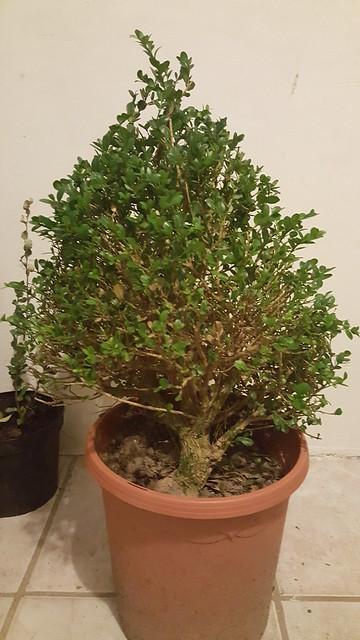 Buxus harlandii 3 euro bonsai pagina 3 bonsai forum for Substraat betekenis