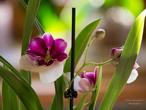 Stiefmütterchenorchidee