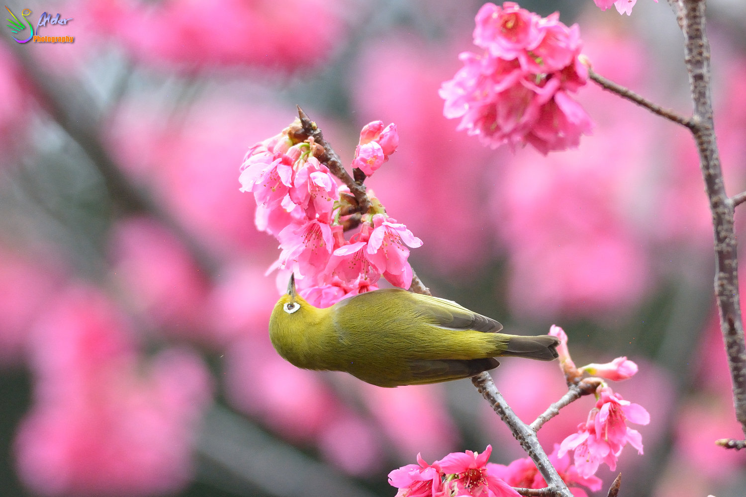 Sakura_White-eye_5807