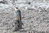 阿穆爾隼 Amur Falcon/Eastern Fed-footed Falcon (Falco amurensis), Botswana by Samson So Photography