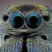 Ant Mimic Spider by melnikor
