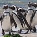 African Penguins (Spheniscus demersus) by Gavin Edmondstone