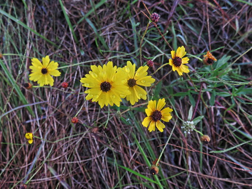 Weed with tiny yellow flowers 20160204