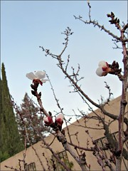 First apricot blossoms of the season
