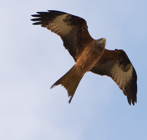 birds wales unitedkingdom wildlife gb redkite llanfairarybryn