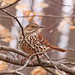 Brown thrasher in winter beech tree - II by Vicki's Nature