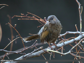 Streaked Laughingthrush (Trochalopteron lineatum)