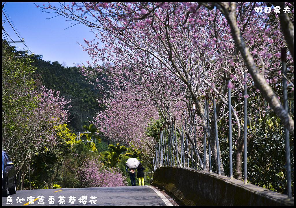 魚池鹿篙香茶巷櫻花DSC_2572