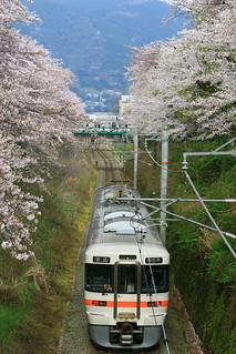 桜の回廊を走る313系