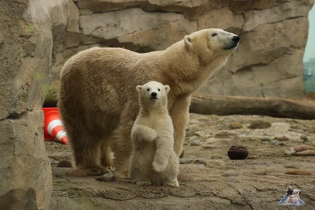 Eisbär Lili im Zoo am Meer Bremerhaven 10.04.2016 Teil 1 68