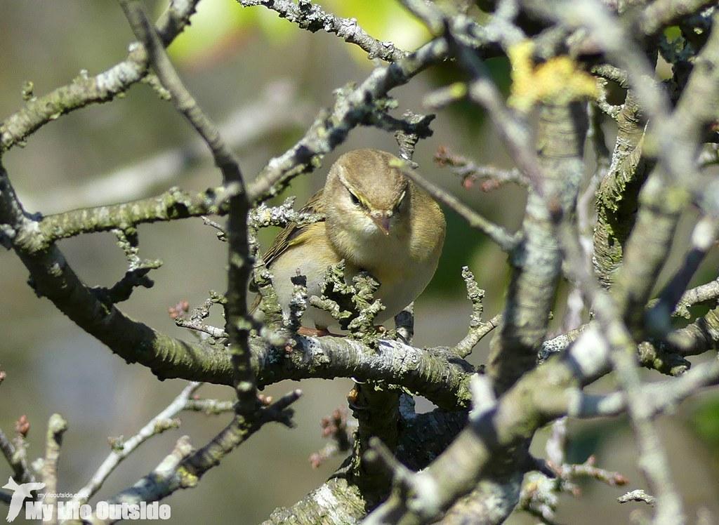 P1000819 - Willow Warbler