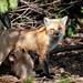 La Famille Renard- Fox Family (2) by Joanne Levesque