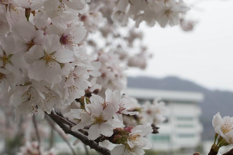 桜 白 レタッチ前