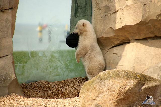 Eisbär Lili im Zoo am Bremerhaven 10.04.2016 Teil 2  09