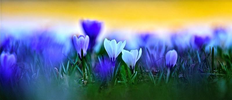 photo fleurs et nature panoramique / le printemps