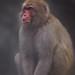 Snow Monkey by marctonysmith