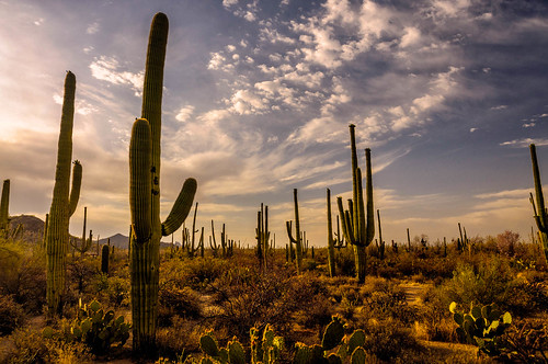 pricklypear sunrise sonorandesert landscapes cactus arizona saguaro saguaronationalmonument travel tucson