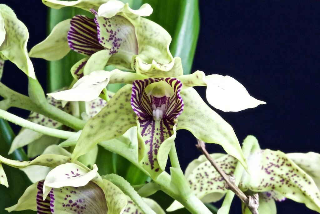 Dendrobium maccrophyllum x atroviolacea 23902056879_3f67fc298b_b