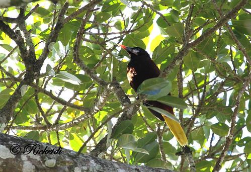 montezumaoropendola psarocoliusmontezuma cassiquedemontezuma birdofcostarica
