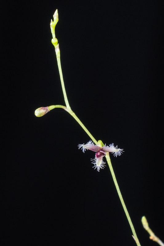 Miniatur-Orchideen Teil 3 24122682710_287d1b7360_c