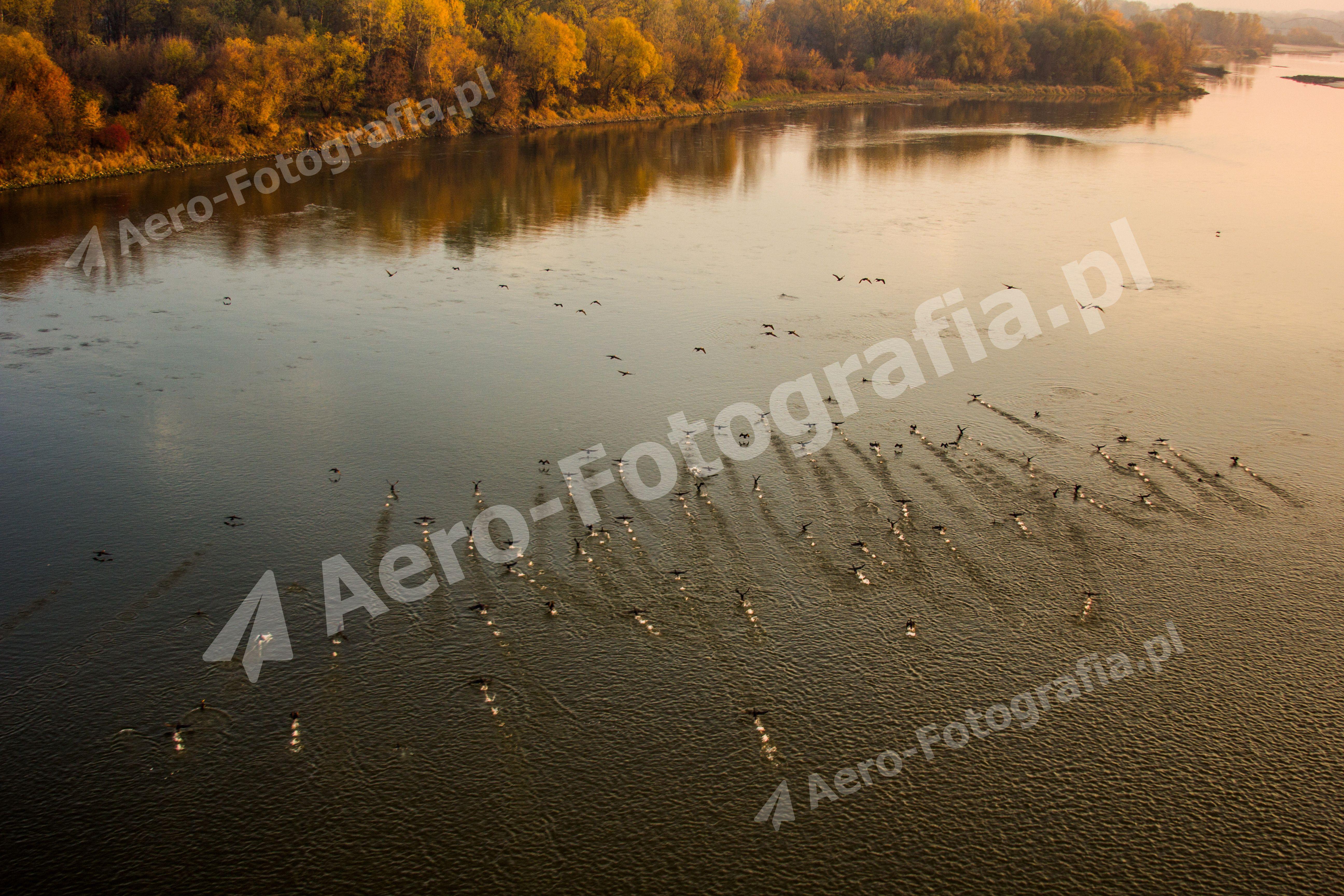 Kaczki na rzece