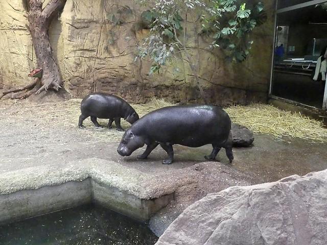 Zwergflußpferd Nokoko und Ayoko