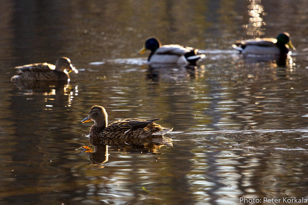 Female Mallard with friends