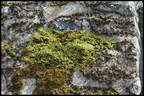 Homalothecium sericeum (5)