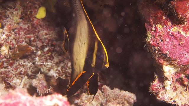 アカククリの幼魚はかなり成長してました!!!