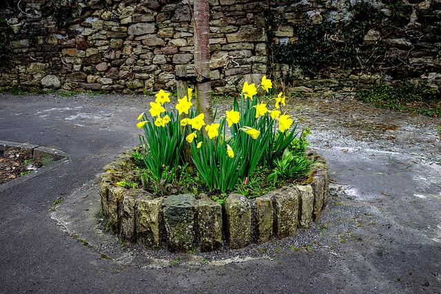Green Street Daffodils