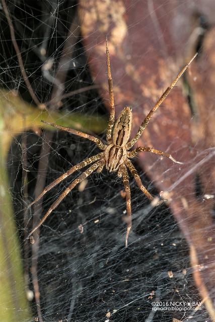 Nursery web spider (Dendrolycosa sp.) - DSC_6126