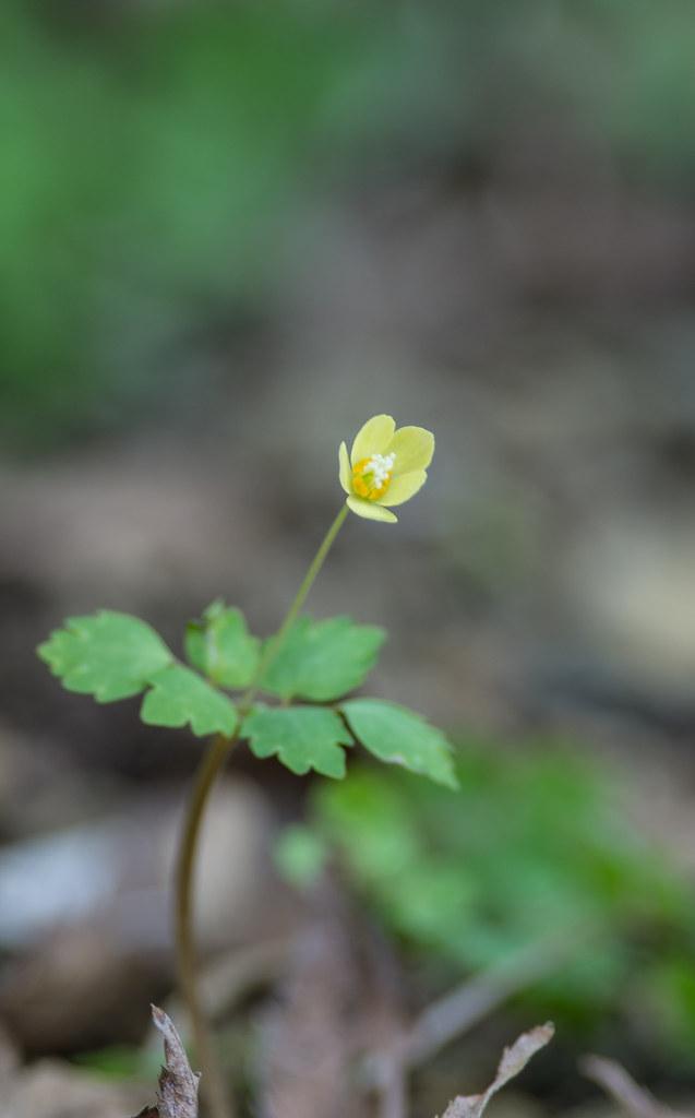 Dichocarpum trachyspermum