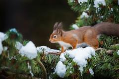 Winter Red Squirrel