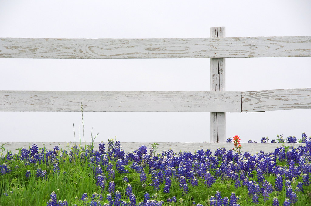 Quintessential Bluebonnet Photo