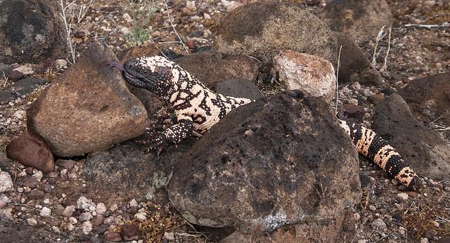 Big Lizard 17_20D_080416