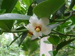Clusia grandiflora (Clusiaceae)